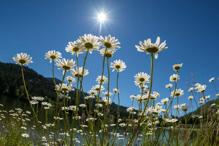 Daisies in the sun Montana