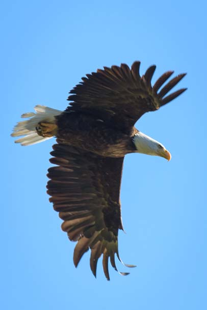 Bald Eagle flying Libby Montana