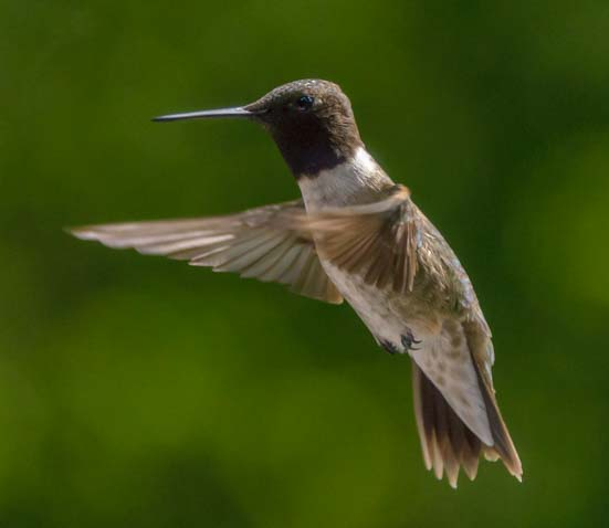 Hummingbird flying Libby Montana