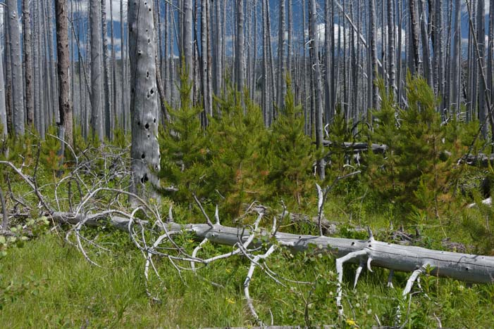 Live and dead trees East Glacier National Park Montana