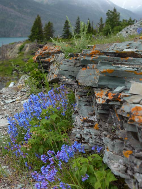 Wildflowers on cliffs Glacier National Park Montana