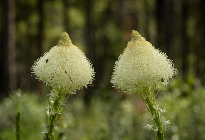 Bear grass Waterton Lakes National Park Canada