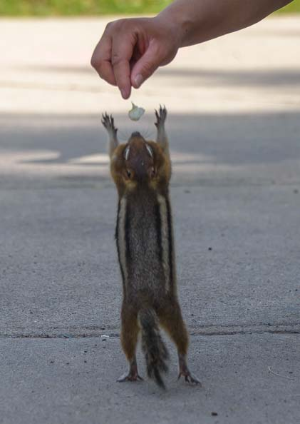 Chipmunk reaching for food