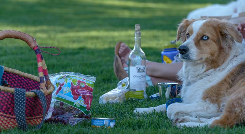 Dog and picnic basket for Sun Valley Summer Symphony Concert