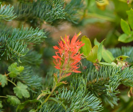 Indian Paintbrush in pine branch