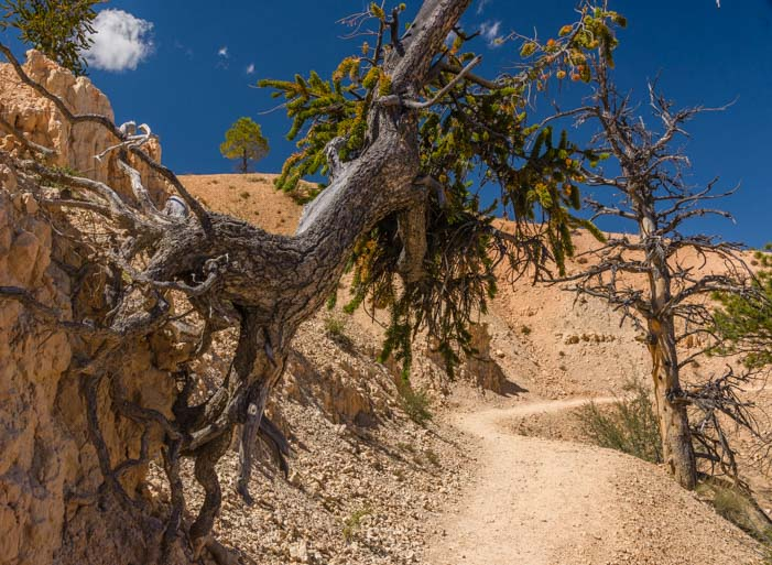 Bristlecone Pine on Fairyland Trail Bryce Canyon National Park Utah