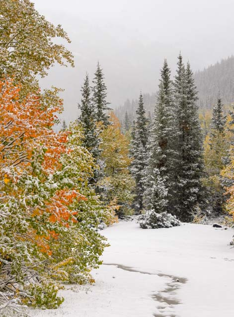 Aspen and pine trees in snow in winter