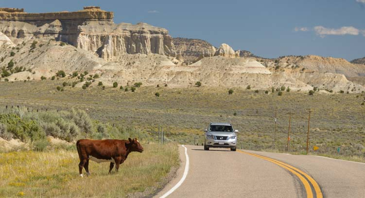 Cow on Scenic Byway 12 Utah