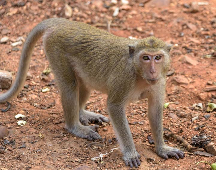 On all fours - a long tailed monkey in Kanchanaburi Thailand