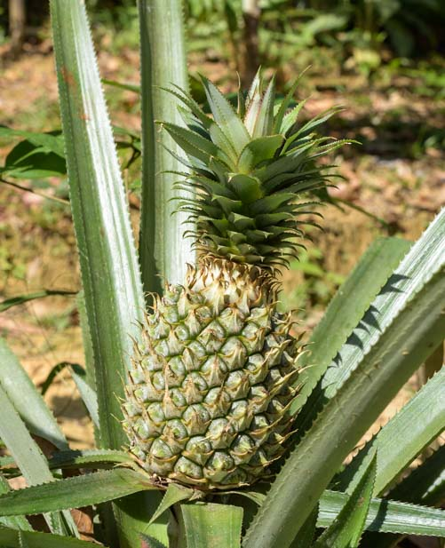 Pineapple growing in Thailand