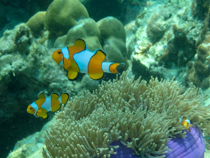 Nemo clown fish Dive & Relax Snorkeling Tour of Ko Rok in Ko Lanta Thailand