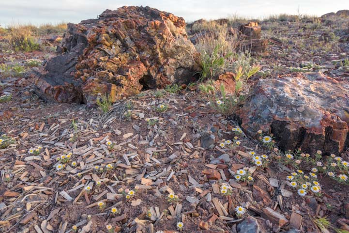 Petrified wood chips at Petrified Forest National Park Jasper Forest
