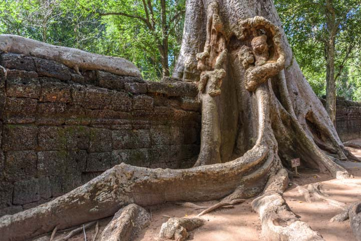 Giant tree roots engulf wall at Ta Prohm temple Siem Reap Angkor Cambodia
