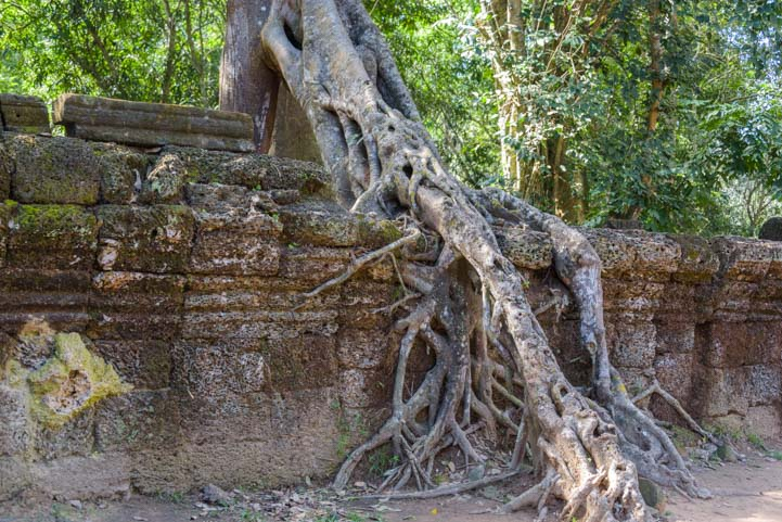 Tree roots covering wall at Ta Prohm temple Siem Reap Angkor Cambodia