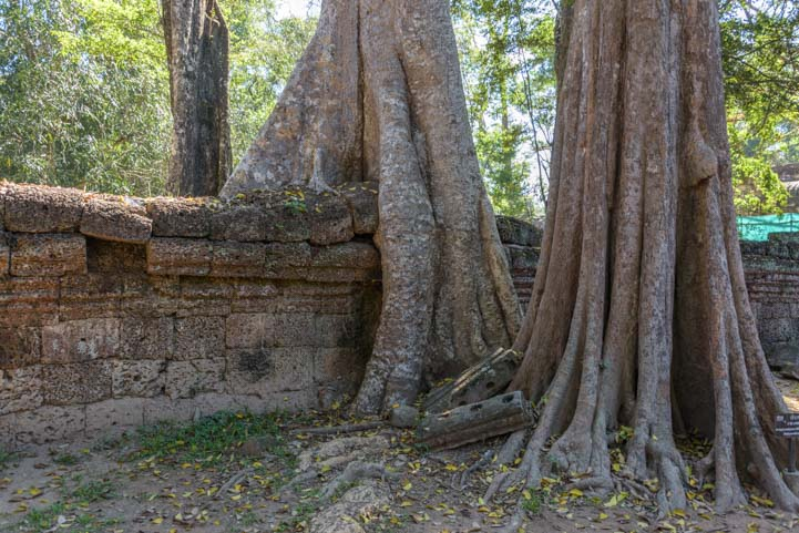 Huge tree roots engulf wall Ta Prohm ruins Siem Reap Angkor Cambodia 2