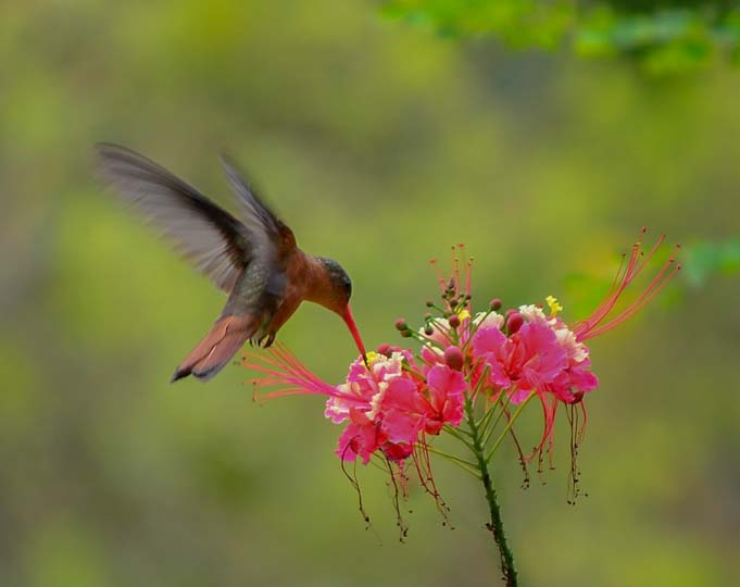 Hummingbird at exotic flower Mexico