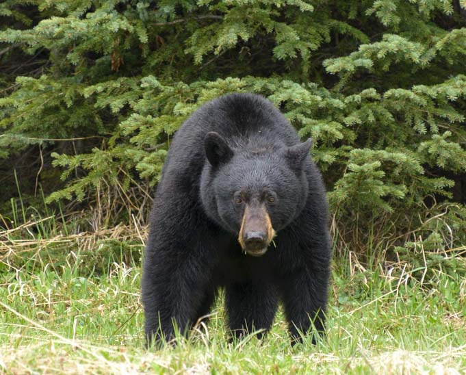 Black bear Kootenay National Park RV trip Canada