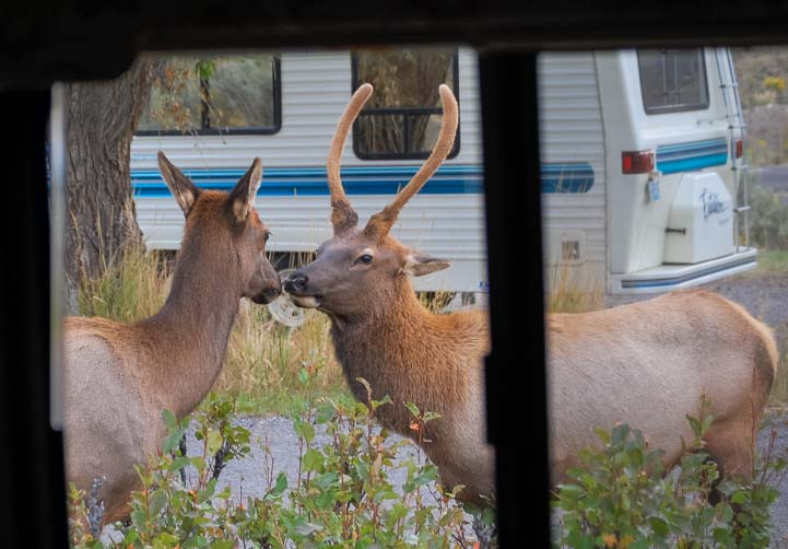 Young elk courting outside RV window Yellowstone National Park