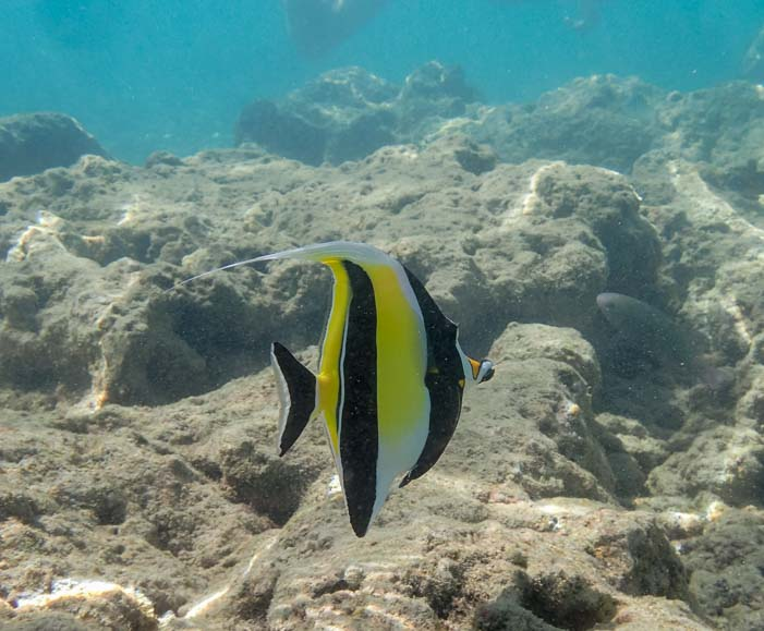 Angel fish Hawaii snorkeling adventure