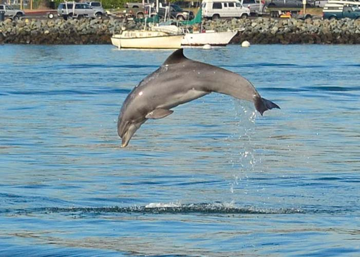Porpoise leaps out of water San Diego Bay California