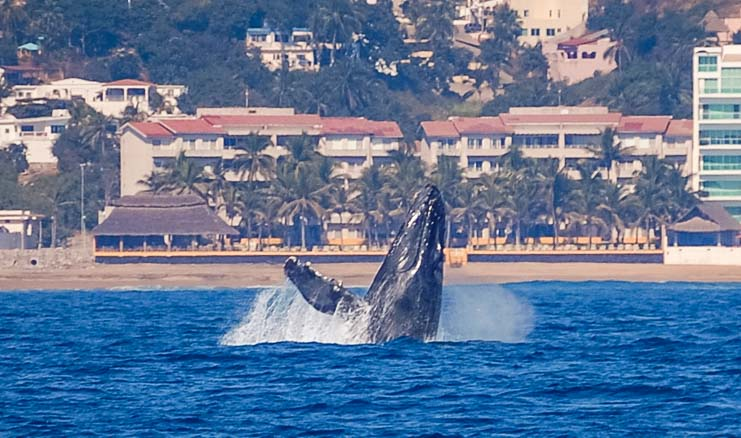 Whale breaching Santiago Beach Manzanillo Bay Mexico