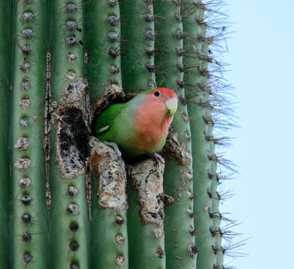 Peach faced lovebird in saguaro cactus in Phoenix Arizona