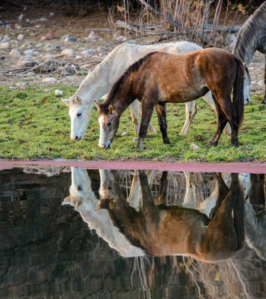 Wild Horses of the Salt River Phoenix Arizona