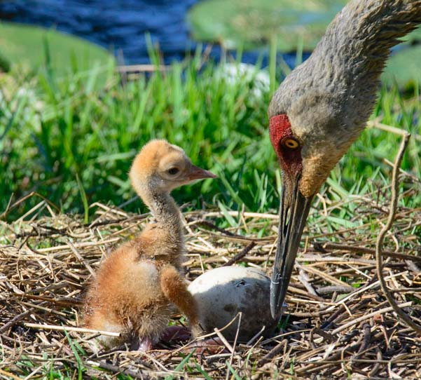 Sandhill crane mom and chick and egg