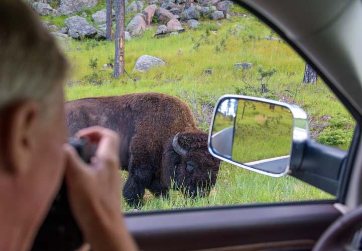 Photographing a bison Custer State Park Wildlife Loop South Dakota