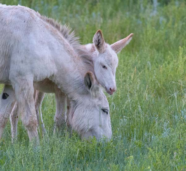 Mother and baby wild burros Custer State Park South Dakota