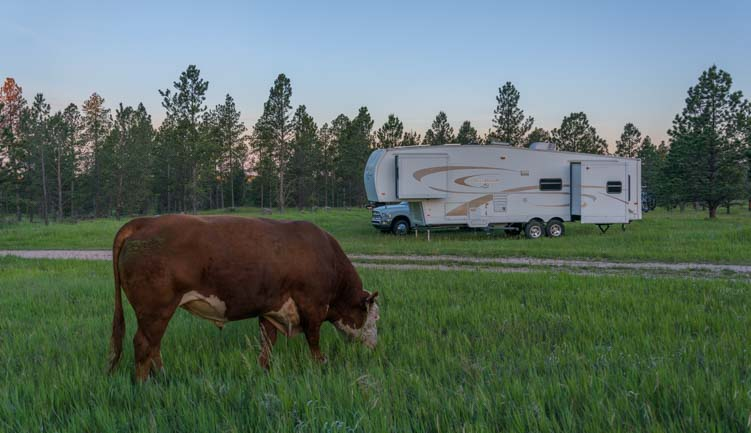 Cow by an RV in the US National Forest Black Hills South Dakota
