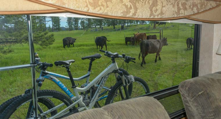 Herd of cows surround RV boondocking in the National Forest
