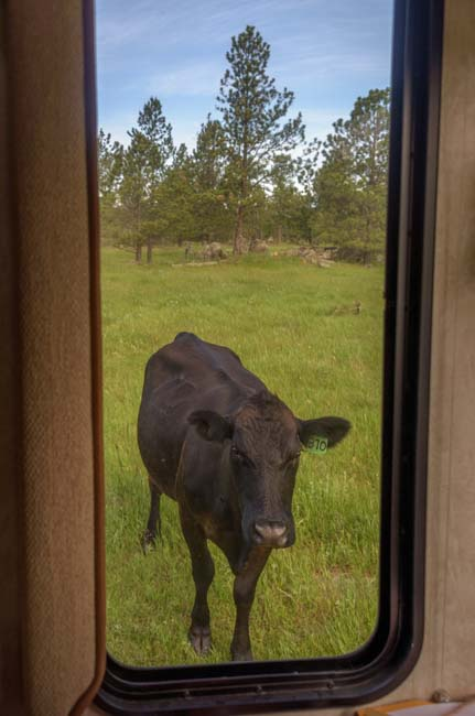Cow outside RV window camping in Black Hills South Dakota boondocking