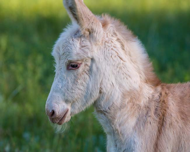 Portrait wild burro foal Custer State Park Wildlife Loop South Dakota