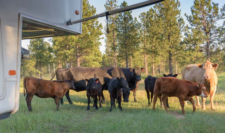 Cattle herd with fifth wheel camper RV in Black Hills National Forest