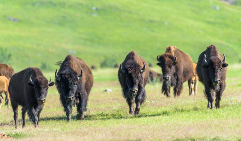 Buffalo herd approaches Custer State Park South Dakota-2