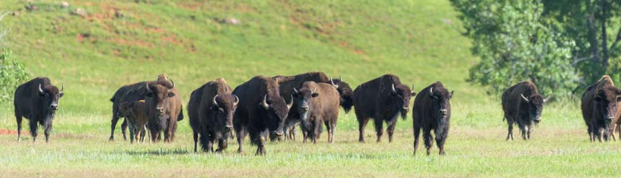 Bison herd approaches in Custer State Park South Dakota