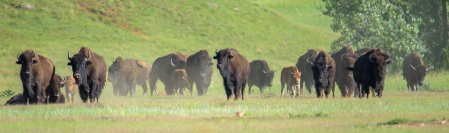 Buffalo herd Custer State Park South Dakota
