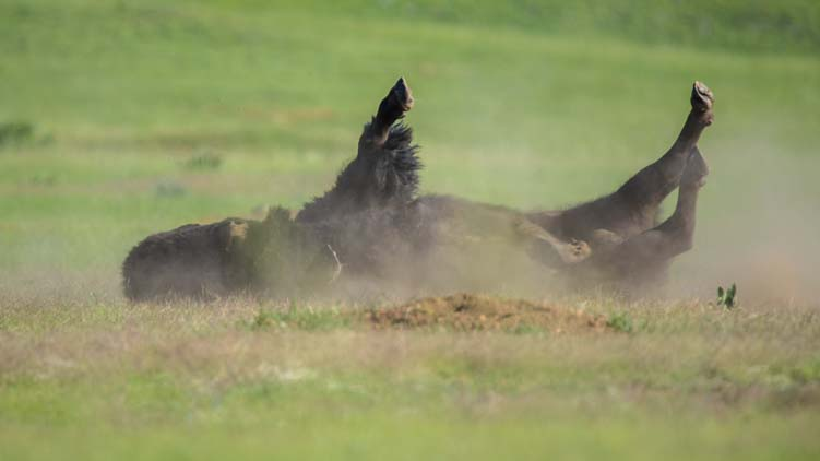 Buffalo dust bath Custer State Park South Dakota