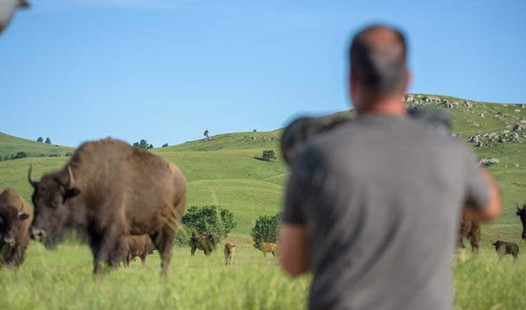 Photographing buffalo in Custer State Park South Dakota