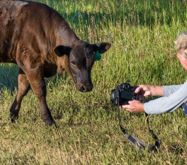 Photography cow inspects Nikon camera