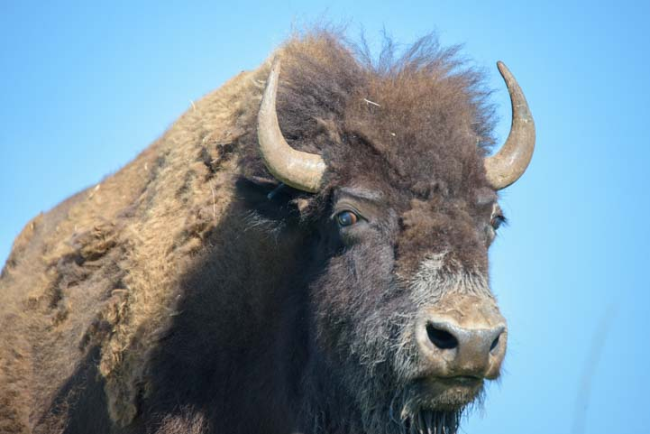 Buffalo head Custer State Park South Dakota