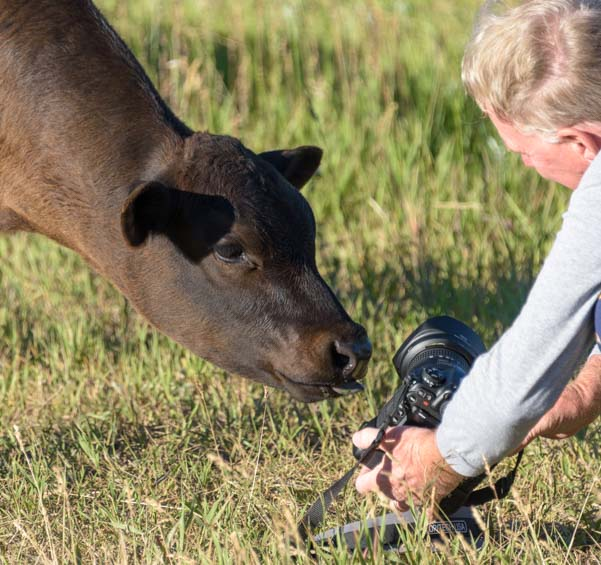 cow inspects Nikon camera Photography_