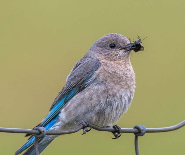 Female Mountain bluebird with bug Custer State Park Wildlife Loop South Dakota