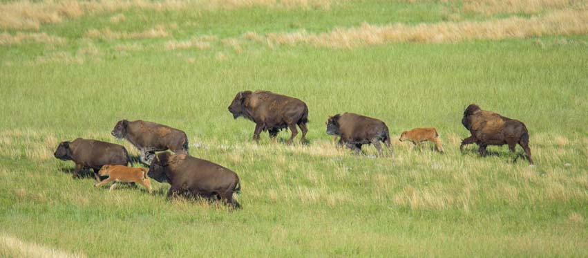 Buffalo on the run Custer State Park South Dakota