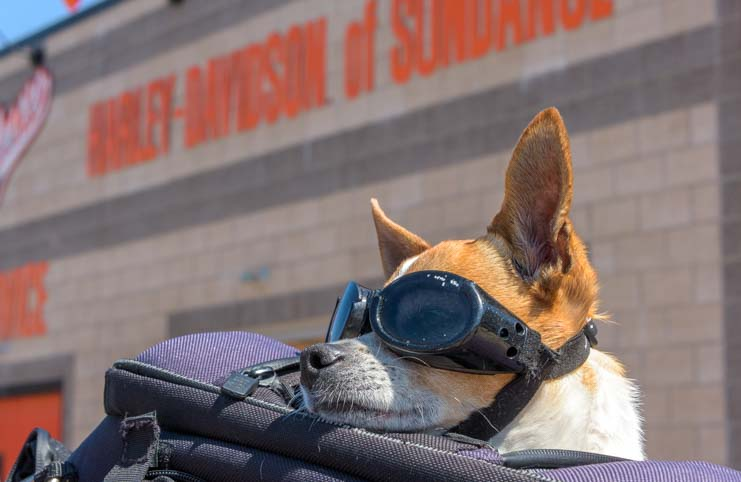 Motorcycle riding dog at Harley-Davidson of Sundance Wyoming