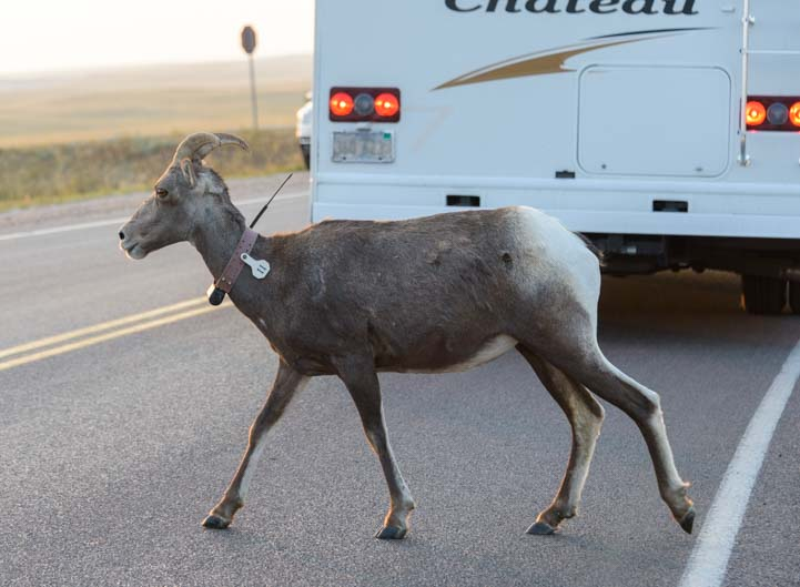 Bighorn sheep walks past an RV wearing a radio collar