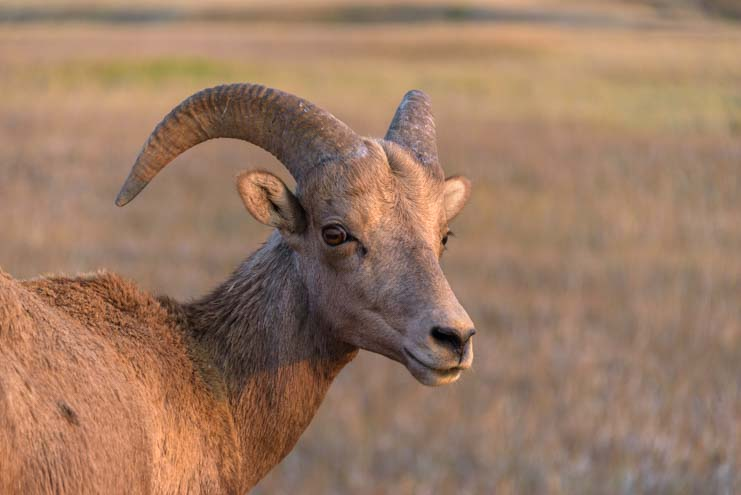 Bighorn sheep at sunset Badlands South Dakota