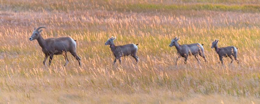 Bighorn sheep family at sunset Badlands South Dakota