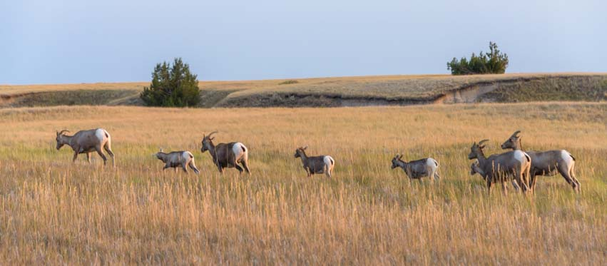 Herd of bighorn sheep Badlands South Dakota